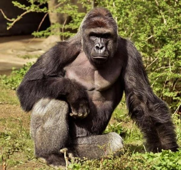 Harambe the Gorilla One Year Anniversary